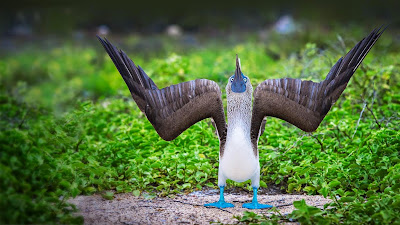 Blue-footed booby during a courtship display in the Galápagos Islands, Ecuador (© Scott Davis/Tandem Stock) 194