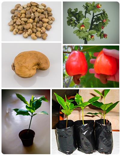 hur växer cashewnötter