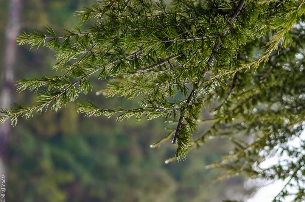 pine trees Deoria Tal