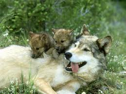 baby Grey Wolf