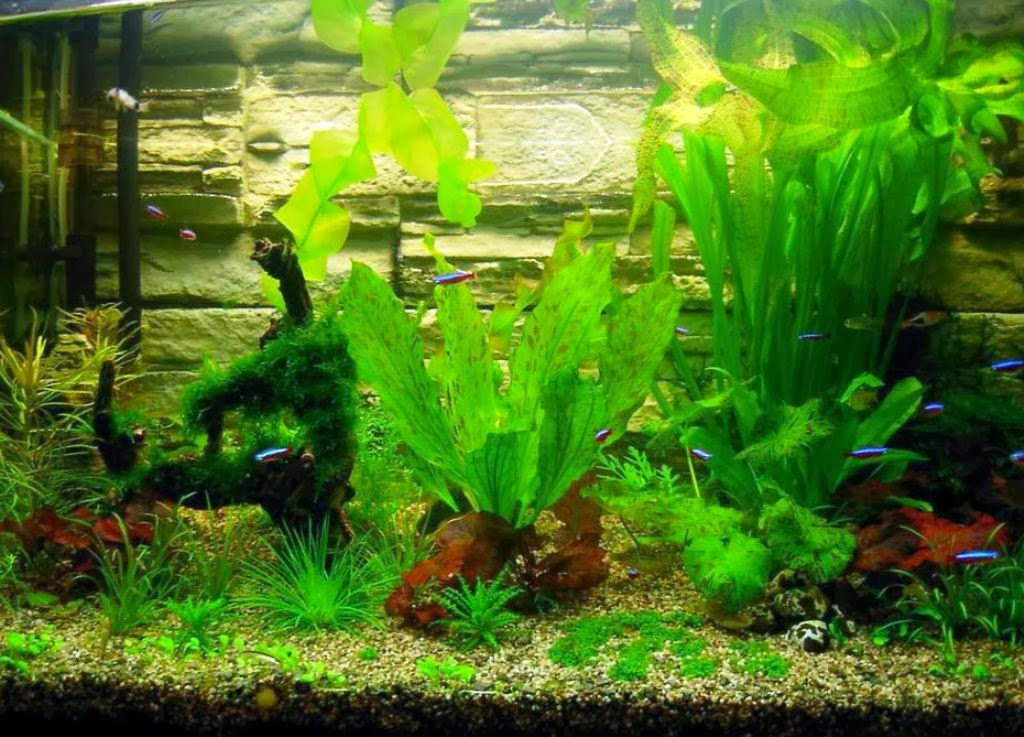 Aquatic moss plant seeds shrimp fish aquarium coral tank for Pond aquarium