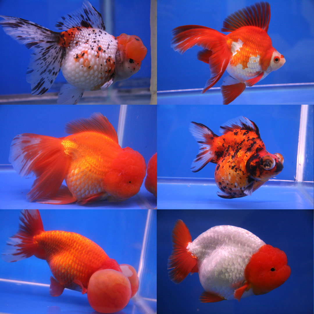 Goldfish And Aquarium Fish Not To Eat