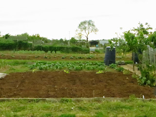 main crop potato bed. King Edwards