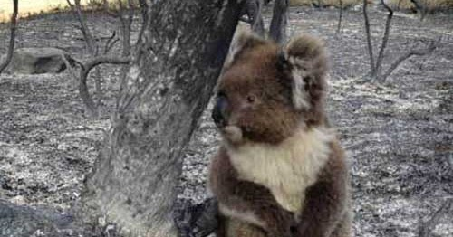 nothing to do with arbroath  koala has lucky escape from massive bushfire