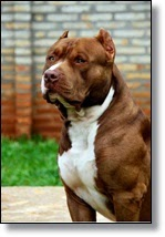 Picture of pit bull