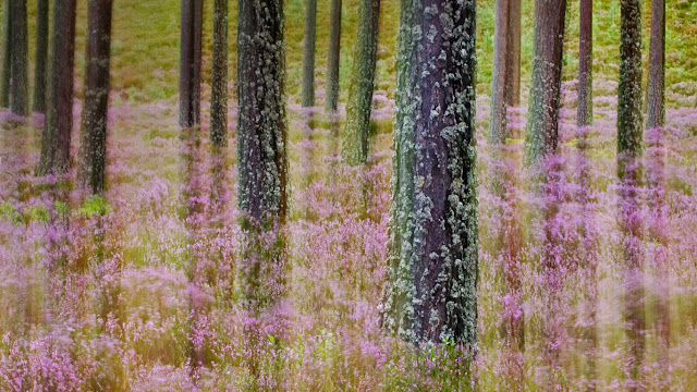 Heather growing in Cairngorms National Park, Scotland (© Sebastian Kennerknecht/Minden Pictures) 641