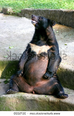 pregnant bear