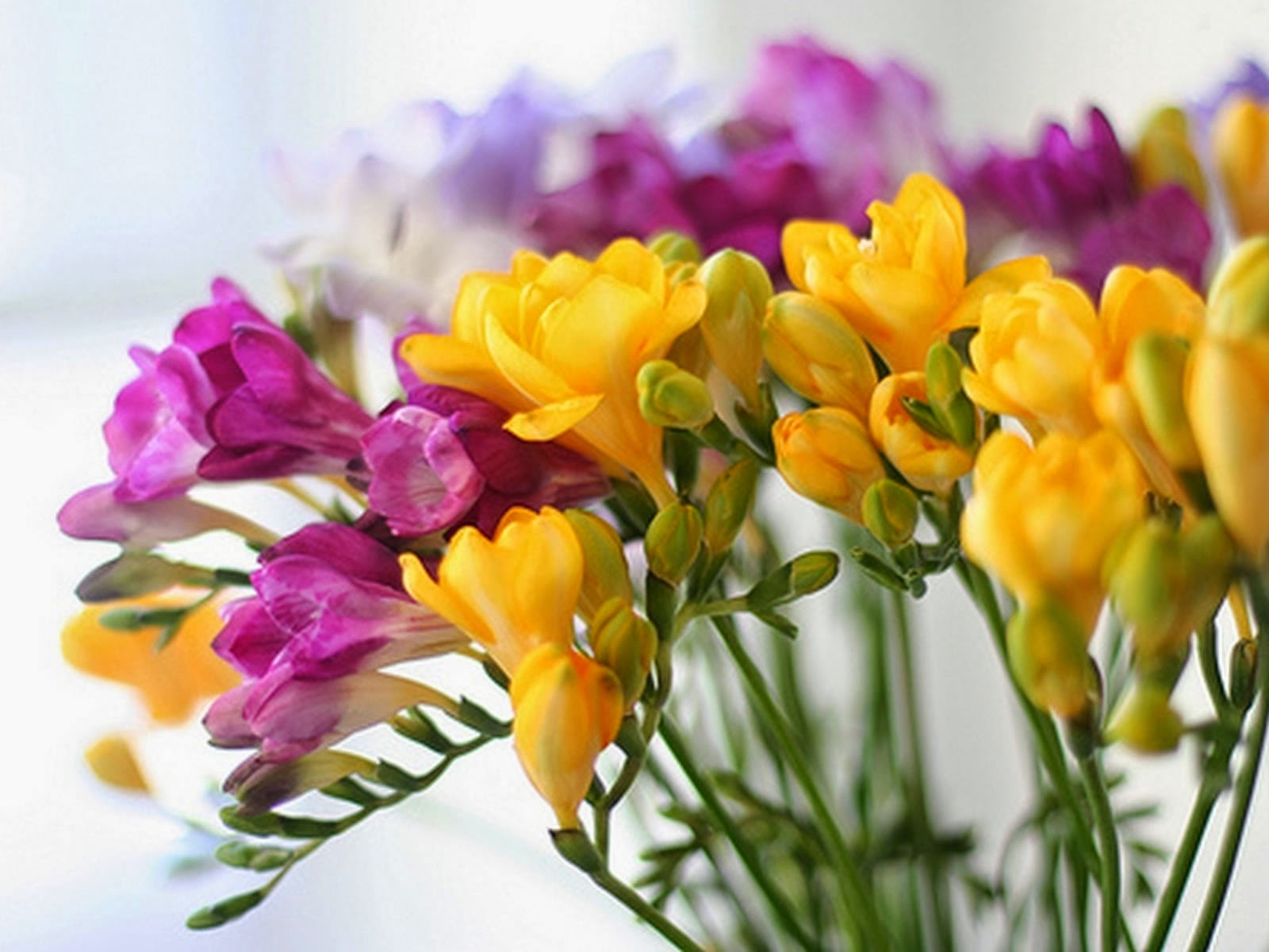 Freesia Plant About Flowers