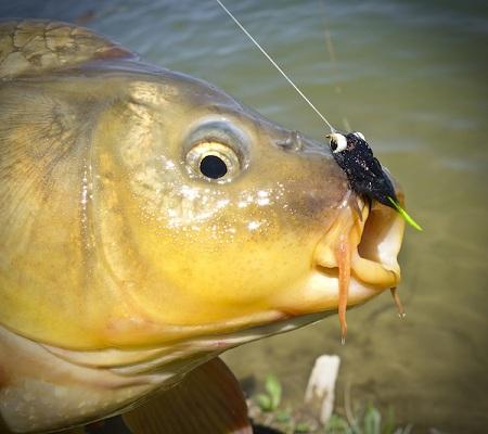 Cách tìm cá chép để câu  (Phần 2)