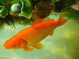 umoan mancing ikan mas kolam harian