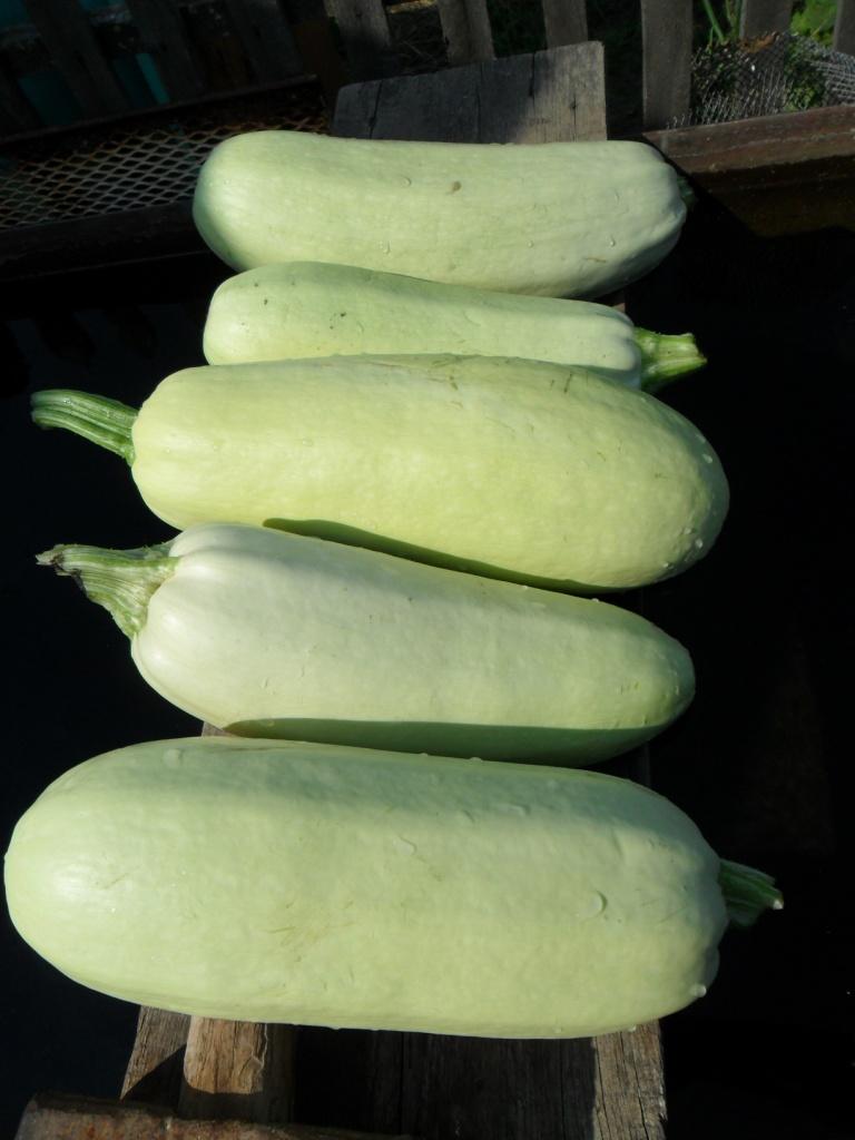 Как вырастить кабачки