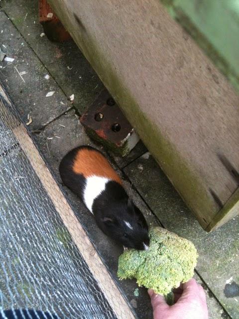 hand feeding a guinea pig