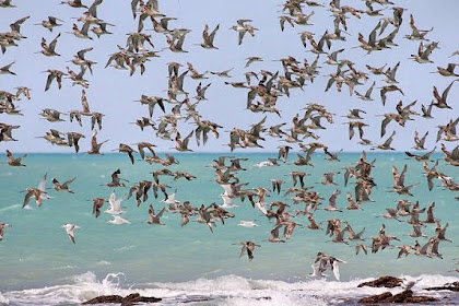 Gallilee, Jalur Terbesar Migrasi Burung Dunia