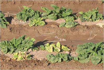 Image of spinach plants infected with BCTV