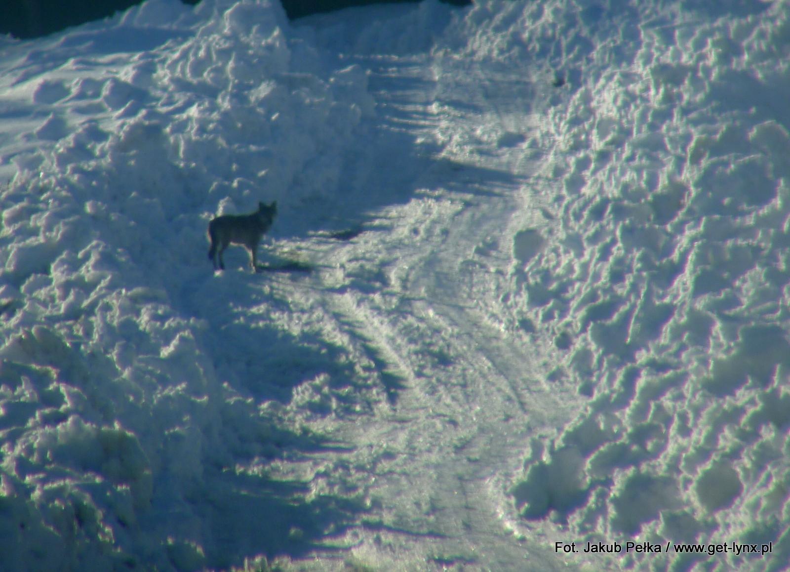 Wilk z zimowych Bieszczad
