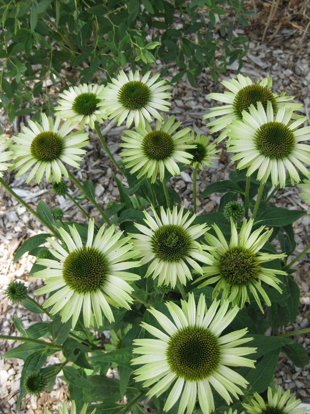 rotary botanical gardens hort blog a sun tribute. Black Bedroom Furniture Sets. Home Design Ideas