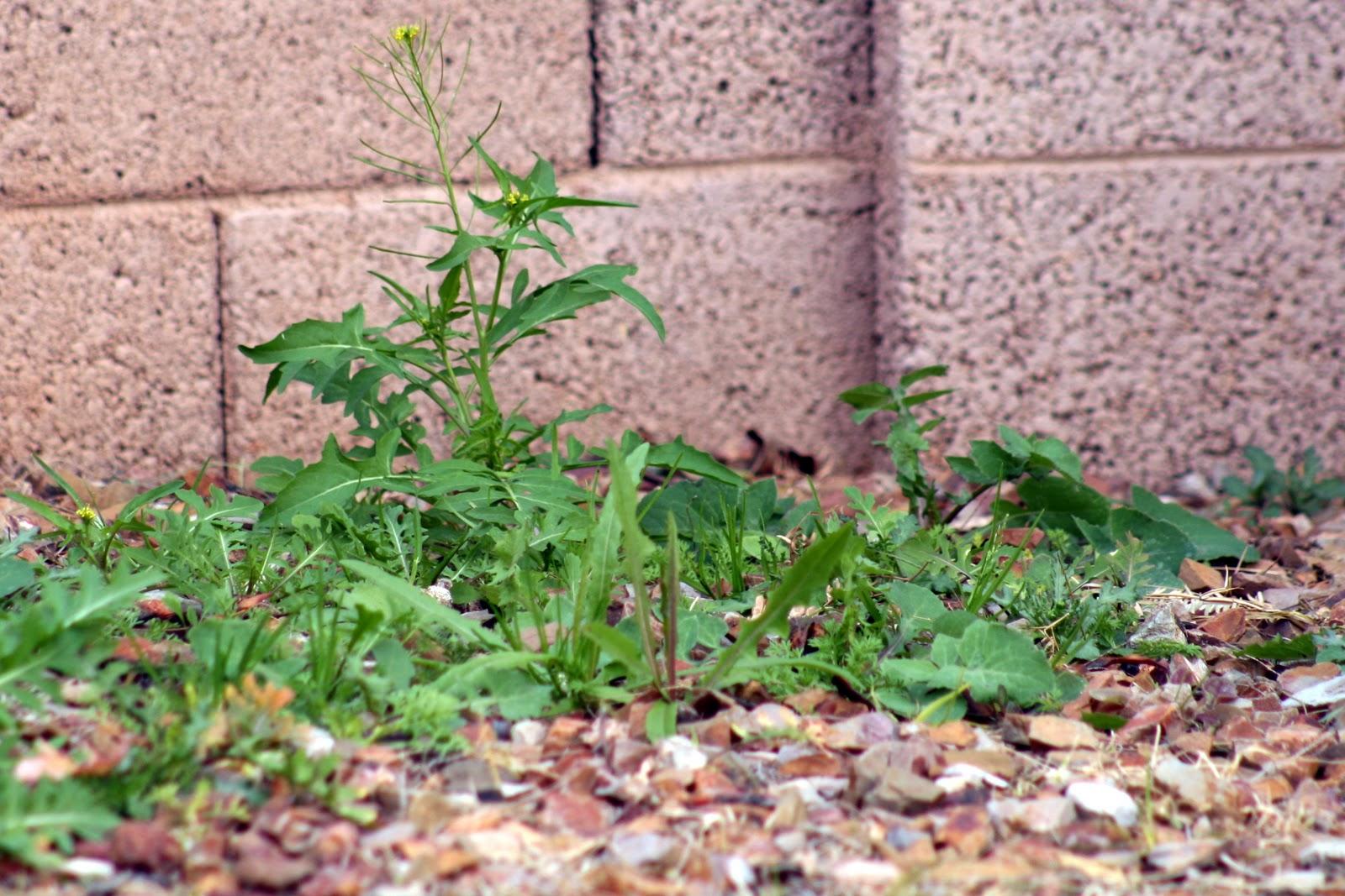living the alaska dream weeds or wildflowers