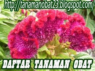 http://tanamanobat23.blogspot.com/2015/03/tanaman-obat-jengger-ayam-celosia.html