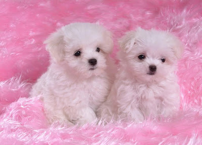 Adorables perritos en color blanco   Little puppies (imagenes facebook )