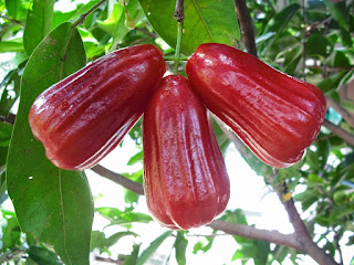 benefits rose apple leaves for health