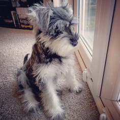 10 Interesting Facts about Miniature Schnauzer