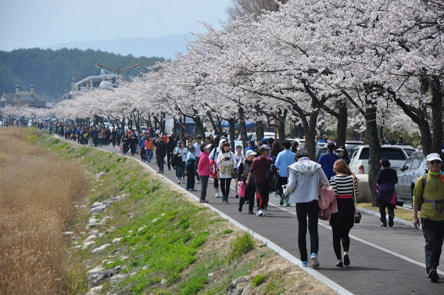 White Cherry Blossoms festival
