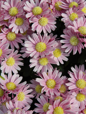 Pink single mums at the Allan Gardens Conservatory 2015 Chrysanthemum Show by garden muses-not another Toronto gardening blog