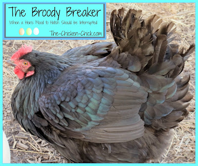 If a hen is going to be allowed to hatch eggs,  there are many things to take into consideration about how to care for her- learn more about caring for broody hens and facilitating the hatch here..