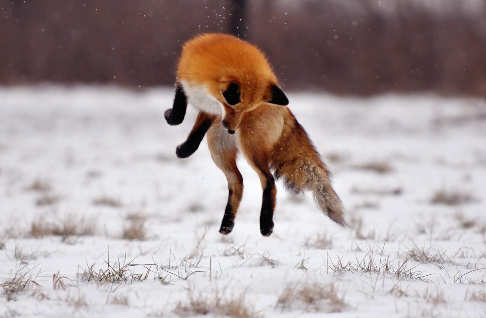 Top Wallpaper Horse Snow - Desktop-fox-jump-winter-field-snow  Photograph_605811.jpg