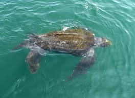 tortugas marinas en argentina Tortuga laúd Dermochelys coriacea