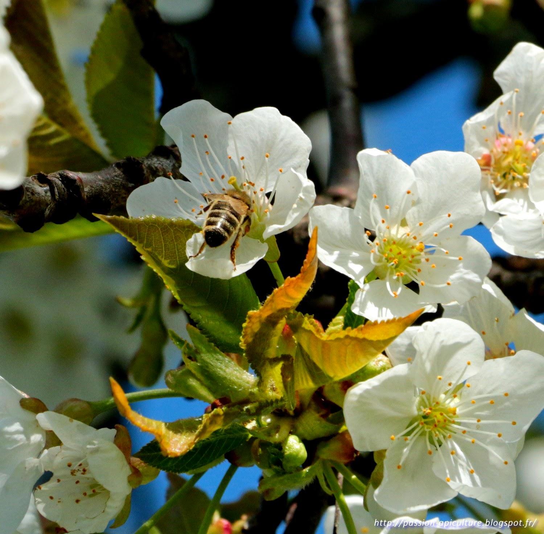 passion apiculture le blog de l 39 abeille pat cerisier en fleurs. Black Bedroom Furniture Sets. Home Design Ideas