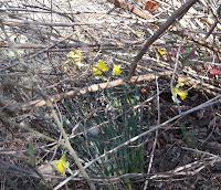 daffodils, lantana stalks