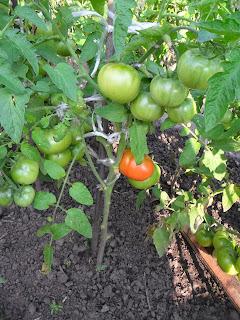 Первый созревший плод у ранних помидоров, конец июня