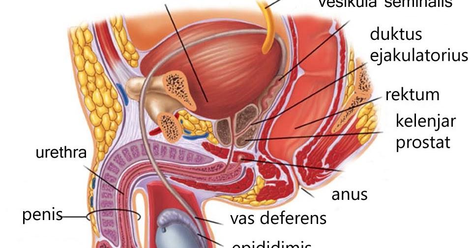 struktur organ reproduksi pria