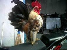Ayam Unik Serama Kediri