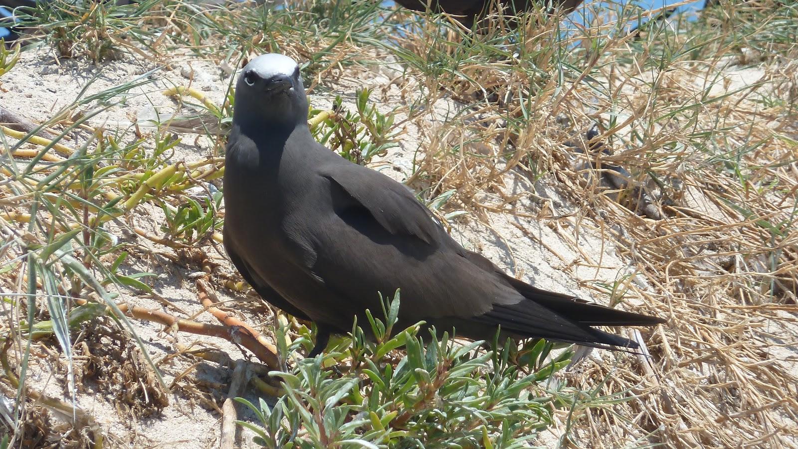 ケアンズで会った鳥: クロアジサ...