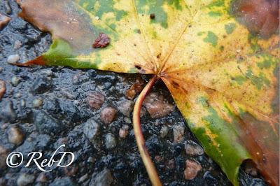 Trefärgat höstlöv (från lönn) på svart, regnvåt, asfalt. foto: Reb Dutius
