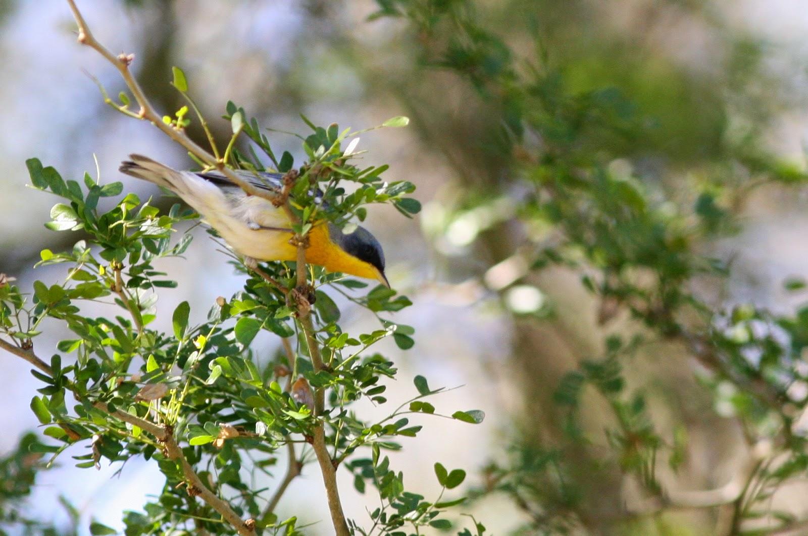 Tropical Parula Resaca de la Palma State Park
