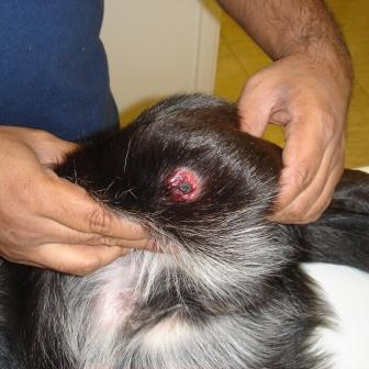 Nodules on Dogs http://alldog360.blogspot.com/2012/10/definition-skin-tumors-in-dogs.html