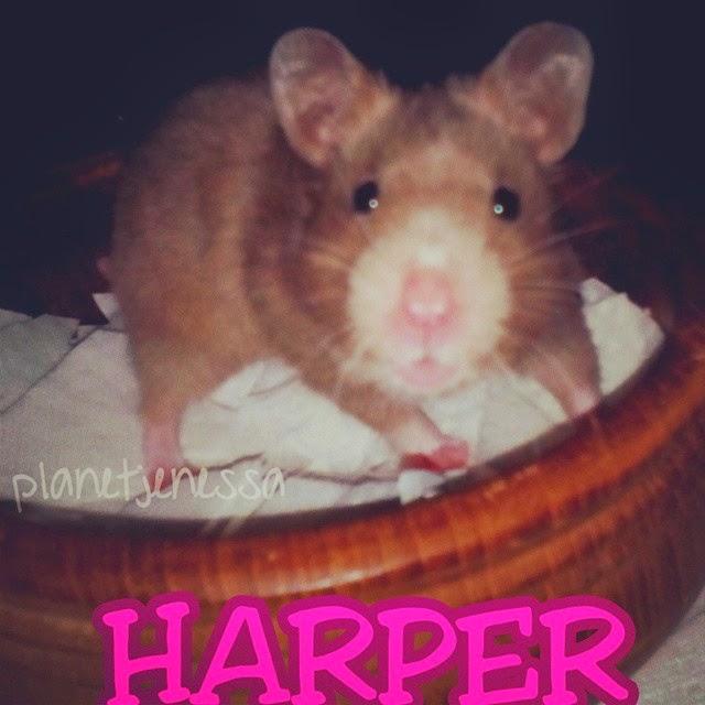 Hamster HARPER