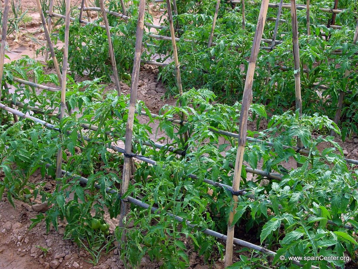 Huerto urbano desde cero - Cuando plantar tomates ...