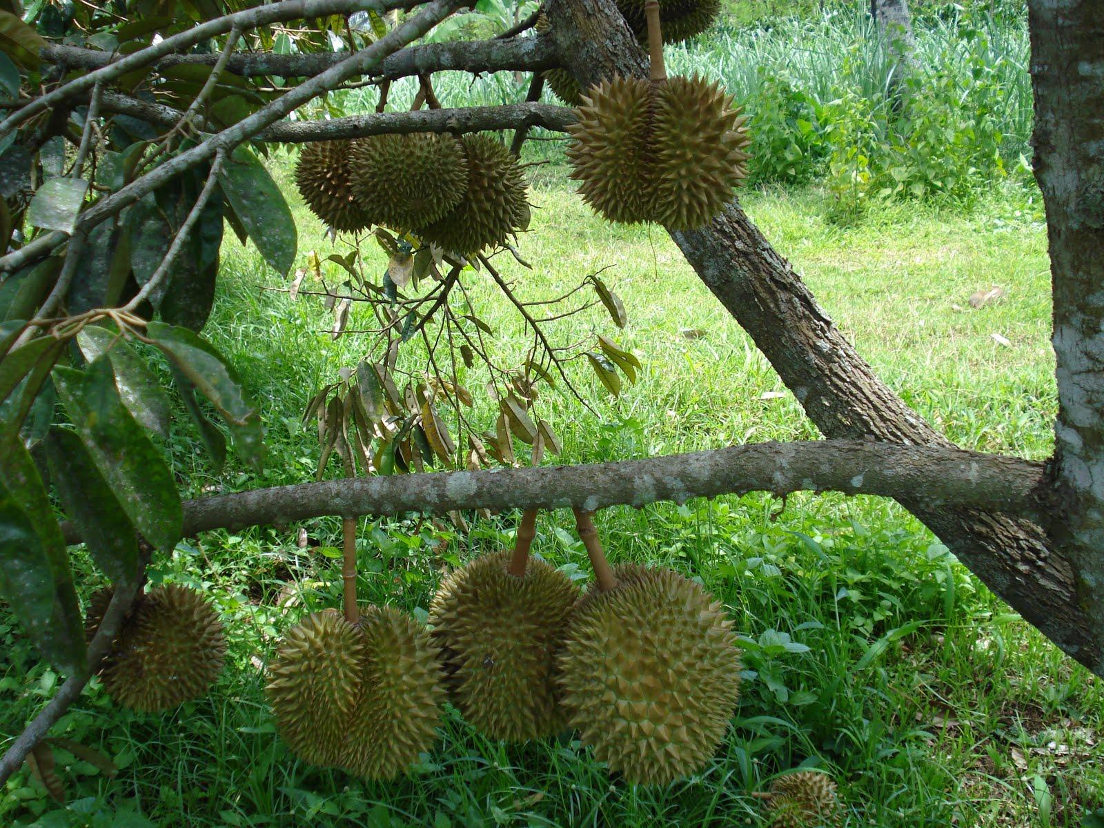 http://1.bp.blogspot.com/-lAZbuZUbPms/TcAgJ7CfKkI/AAAAAAAAAsE/3Zl66jASzxw/s1600/durian+montong+3.jpg