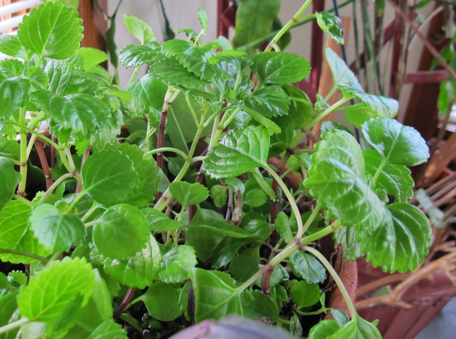 Most common indoor vine plants - Common indoor plants ...