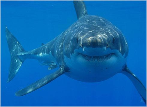 The great white shark / El gran tiburon blanco: agosto 2017