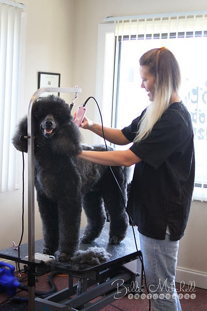 Billie mitchell photography splash grooming salon hendersonville here is gizzy girl after her bath she was being blow dried and brushed from the looks of her in this shot i look like a horrible pet owner for allowing solutioingenieria Images