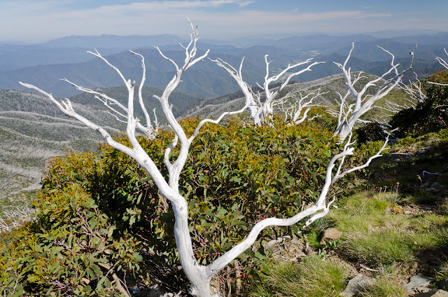 alpine trees near Mt Feathertop