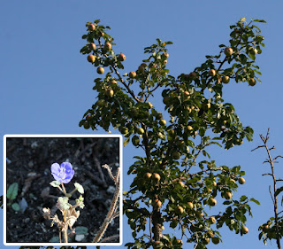 Fruitful pear tree, and a single flower returns