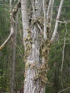 träd klätterväxt