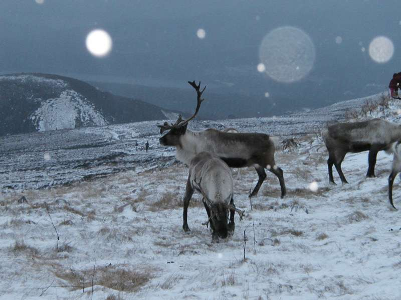 Reindeer | The Life of Animals