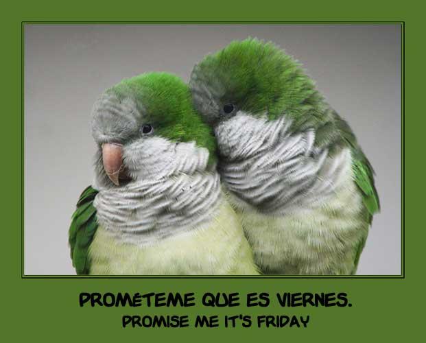 quaker parrots by la-niebla